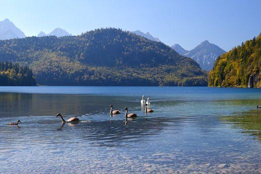 swan family on Alpsee