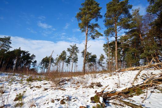 coniferous winter forest