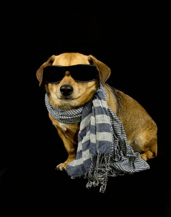 a little dachshund dog with scarf and sunglasses