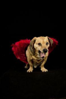 little dachshund wearing an angel costume bark