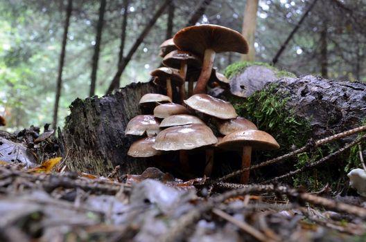 Brick Tuft mushroom