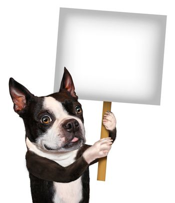 Dog holding a blank sign as a Boston Terrier with a smiling happy expression advertising and communicating a message pertaining to pet care and veterinary issues on white.