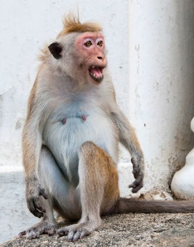 Shouting monkey portrait