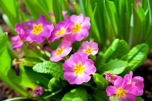 Perennial primrose or primula in the spring garden.