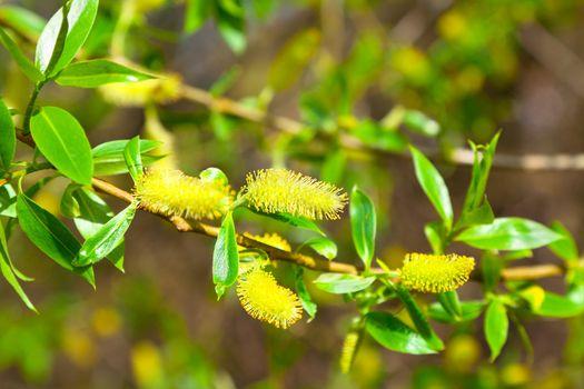 macro shot of blooming willow tree. Salix caprea. summertime