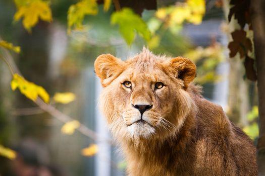 Close-up portrait of a majestic lioness (Panthera Leo)