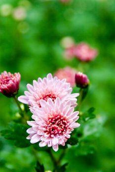pink dahlia in a garden