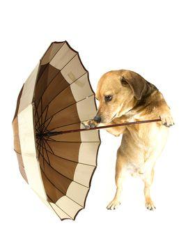 the musical dachshund