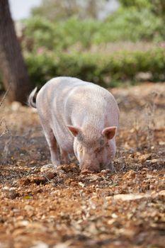 domestic pig mammal outdoor in summer