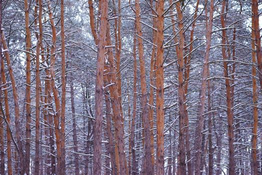 Beautiful pine winter forest
