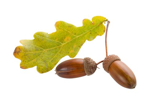 close-up two autumn acorns with oak leaves, isolated on white