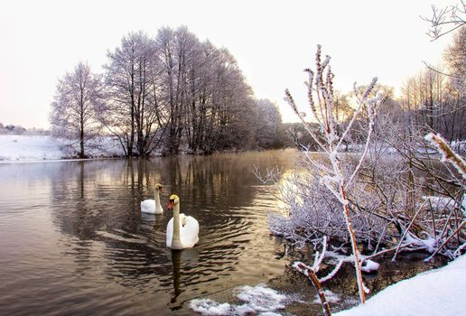 two white swans swim in winter river
