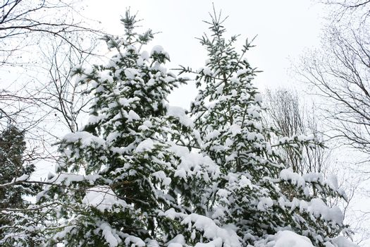 Coniferous trees covered by snow