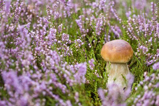 Mushroom in heather