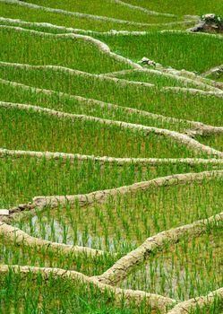 Rice plantations. Vietnam