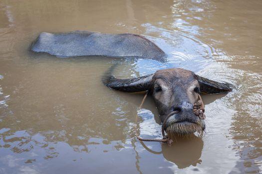 Water buffalo. Vietnam