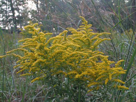 Several stocks of goldenrod (Solidago) in full bloom, shot in the morning.