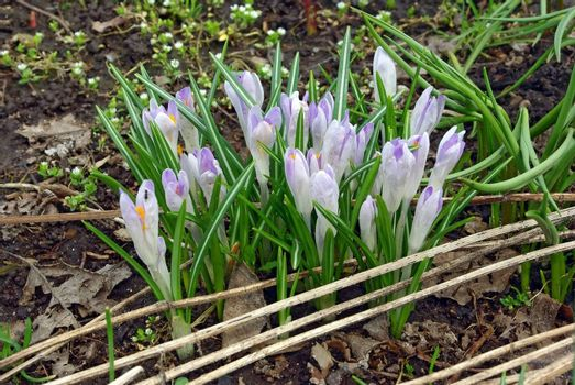 First spring crocus flowers in the garden in early spring