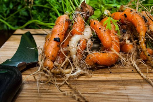 Photograph of home grown carrots waiting to be cut on a wooden cutting board.
