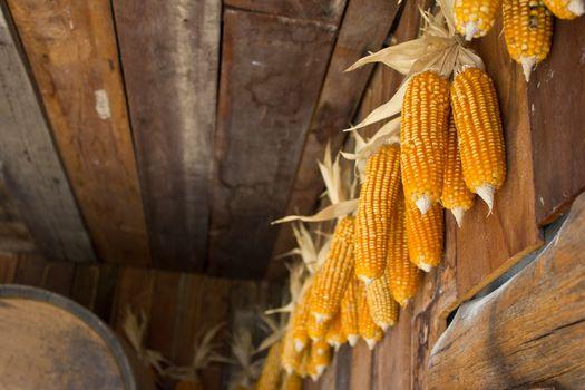 old corn hang on the wall in swiss sheep farm