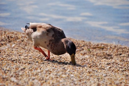 duck on pebble beach on the lake in summer