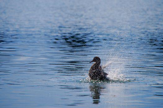 single duck in the lake shaking splashing water