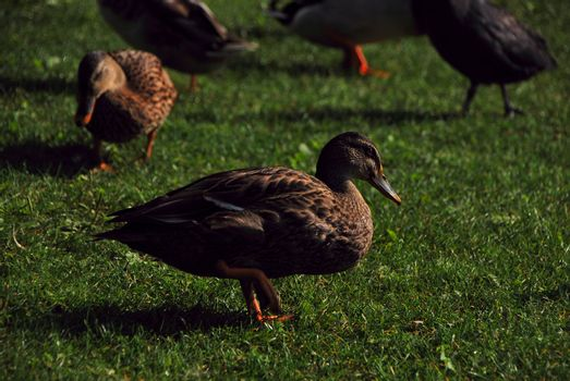 many ducks on green grass in the summer