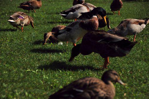 many ducks in green grass in summer