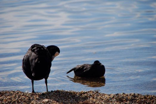 two bless chicken on pebble beach on the lake in summer