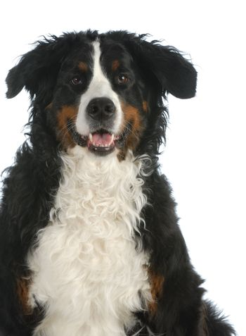 bernese mountain dog looking at viewer isolated on white background