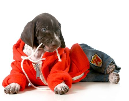 cute puppy- german short haired pointer puppy wearing clothing isolated on white background