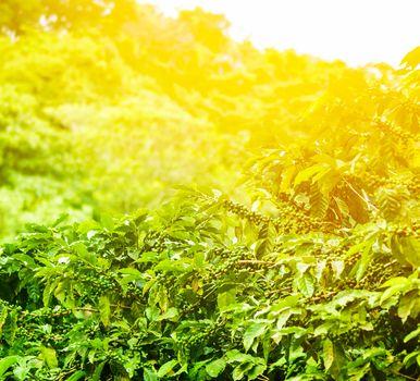 Coffee plantation sunny background