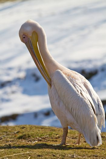 a view of a white pelican