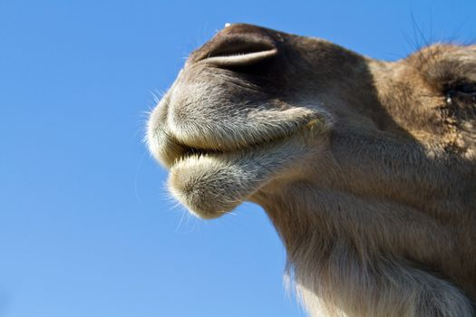 a portrait of the face of dromedary