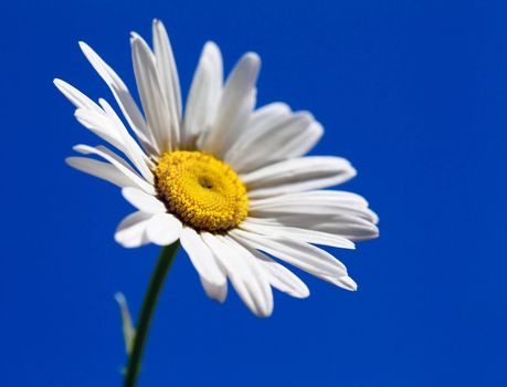 Macro view of single camomile over sky background