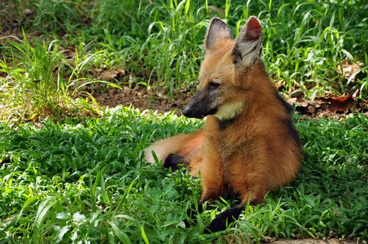"The maned wolf has often been described as ""a red fox on stilts"" owing to its similar coloration and overall appearance, though it is much larger than a red fox and belongs to a different genus."