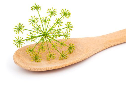 inflorescence of fresh dill on wooden spoon, on white background