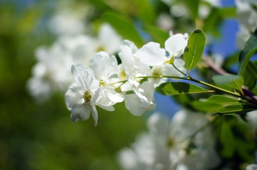 Spring time: blooming jasmine bushes in the garden