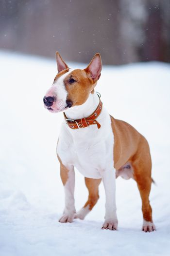 English red bull terrier