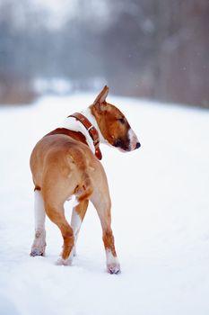 Bull terrier on walk