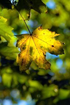 autumn maple leave