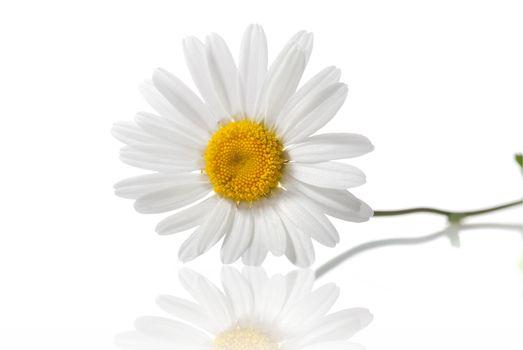 white chamomile isolated on white