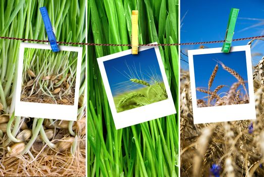 photos of wheat hang on rope with pins. Seasonal growth concept