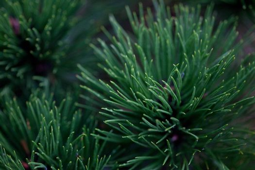 background of spruce