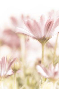 Beautiful pink daisy flowers
