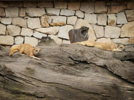 Mongooses Resting at Big Wood