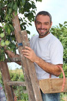 man gathering fruits