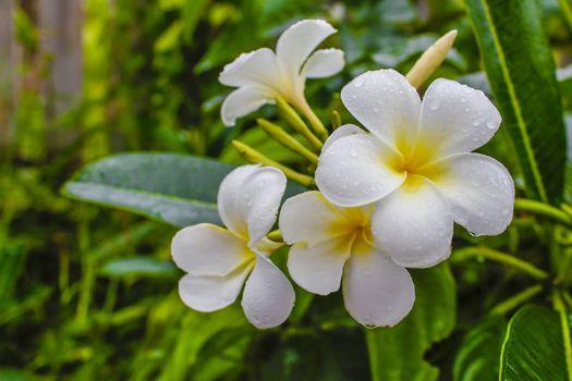 White Plantae flower with raining