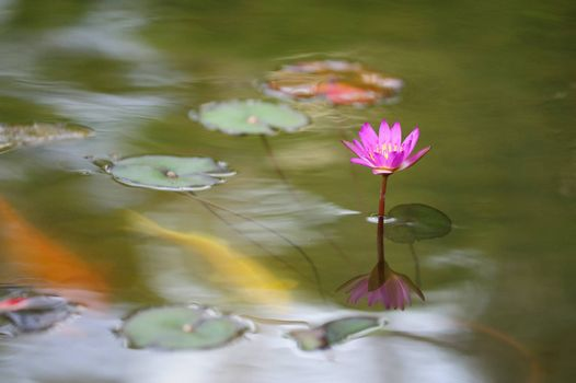 Single water lily flower blooming in the pond