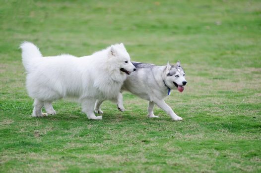 Two dogs playing together in the lawn